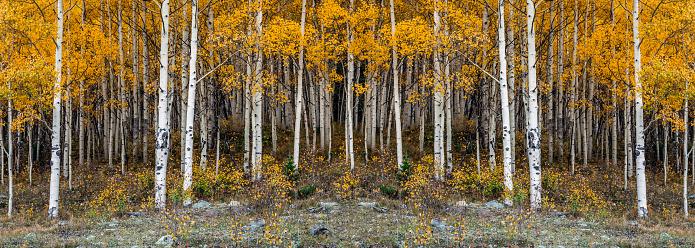 Panoramic image of the beautiful yellow autumn aspen tree leaves. Taken near Silverton at the Million Dollar Highway, Colorado Rocky Mountains, USA.