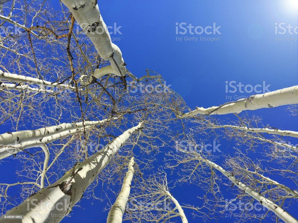 Aspen Tree tops stock photo