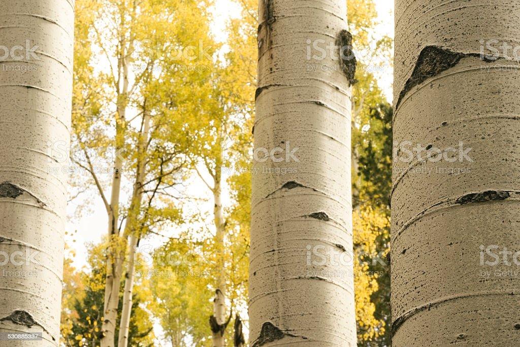 aspen tree trunks in fall stock photo