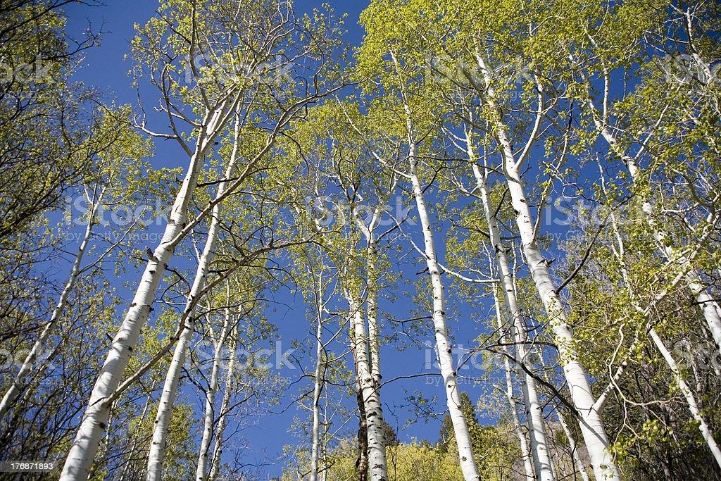 Aspen trees and blue sky royalty-free stock photo