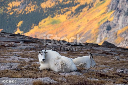 Along the rocky fields on Mount Epaulet at over 13,000 feet, just south of summit of Mount Evans, Colorado, a pair of mountain goats relax in the Mount Evans Wilderness past the golden slopes of changing aspen trees in the distant Arapahoe National Forest.