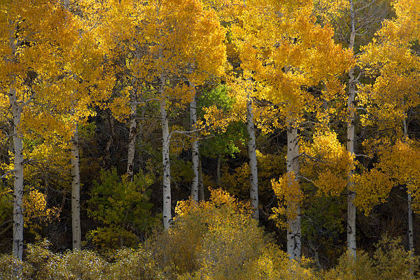 Aspen trees changing color in fall near Lee Vining, California stock photo