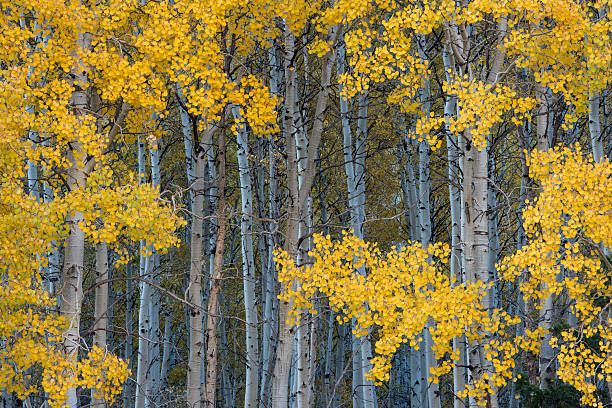Aspen trees changing color in fall stock photo