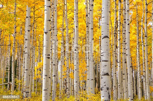 istock Aspen trees in Colorado on a beautiful Autumn day focusing on the tree trunks with a focus on the look of eyes on the trunks 688328842