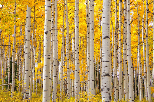 Vibrant yellow foliage on the white bark of the Aspen trees in Colorado on an Autumn day bring out the look of eyes on the white tree trunks.