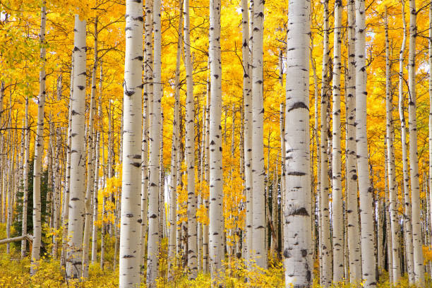 Aspen trees in Colorado on a beautiful Autumn day focusing on the tree trunks with a focus on the look of eyes on the trunks stock photo