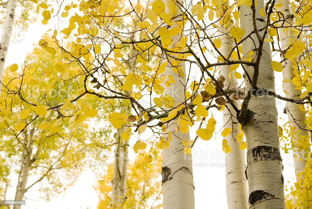 aspen trees in fall against white sky stock photo