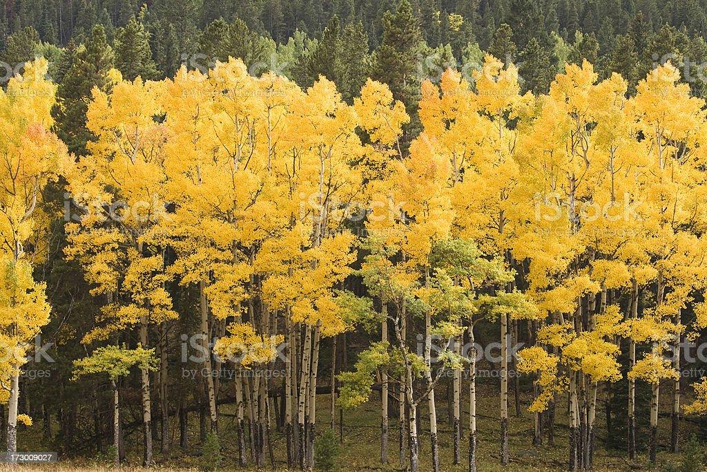 Aspen Trees in Fall royalty-free stock photo