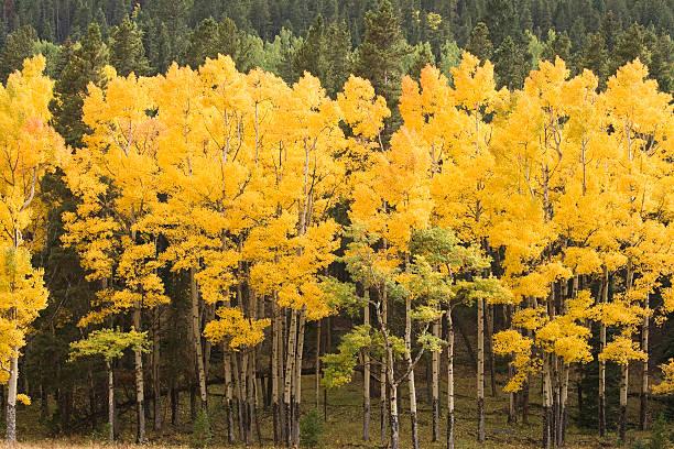 aspen alberi in autunno - estes park foto e immagini stock