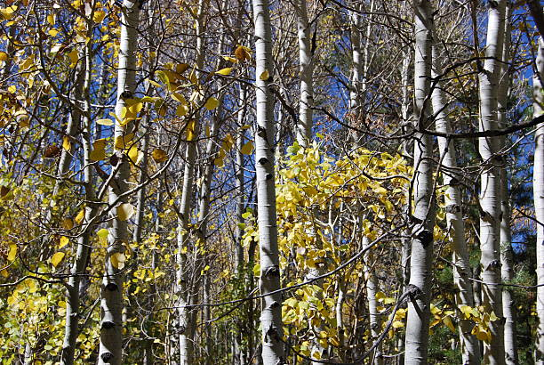 Aspen trees in Hope Valley, California stock photo