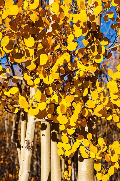 Aspen Trees in Peak Autumn Color stock photo