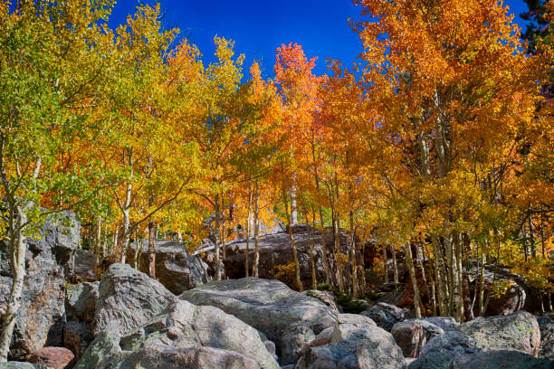 Aspen trees in the Fall at Bear Lake in Rocky Mountain National Park stock photo