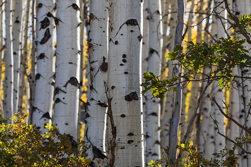 Aspen trees with fall colors in the Uncompahgre National Forest, Colorado.
