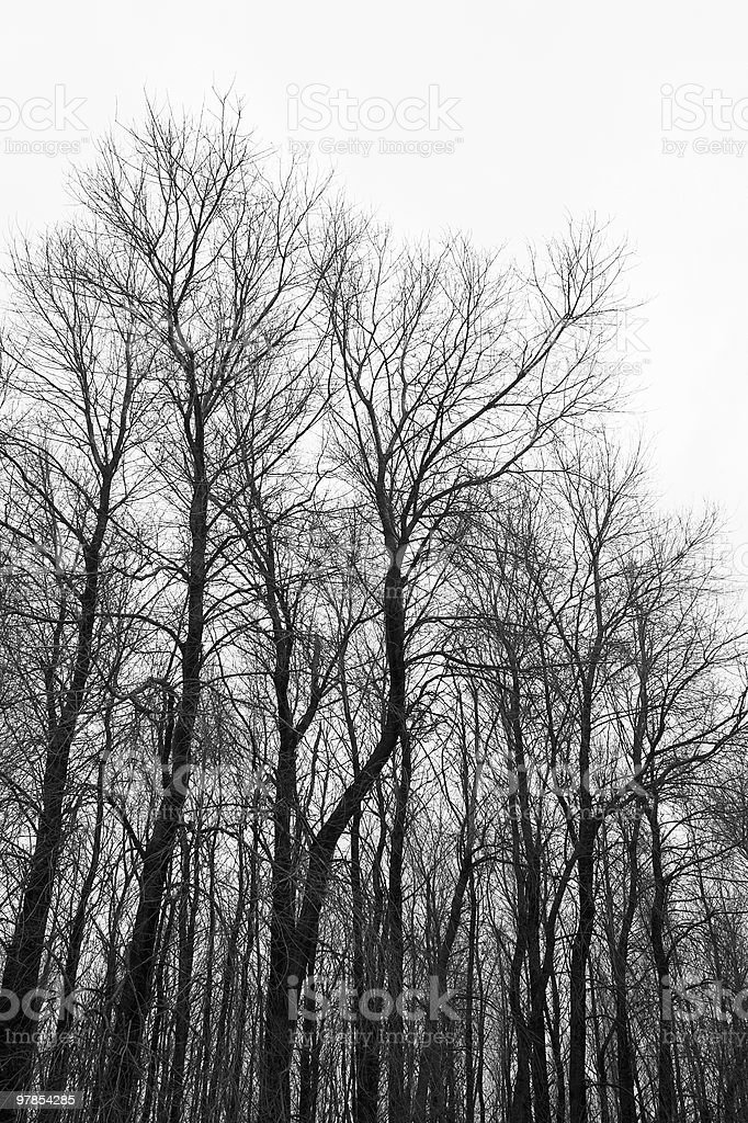 Aspen trees in winter in black and white royalty-free stock photo