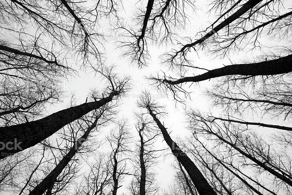Aspen Trees in Winter royalty-free stock photo