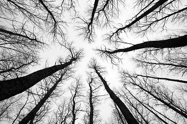aspen trees in winter - abstract silhouette art bildbanksfoton och bilder
