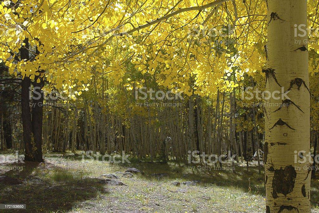 Aspen Trees royalty-free stock photo