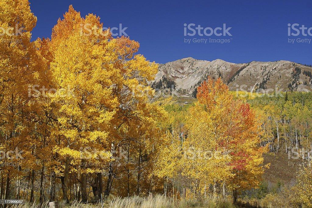 Aspen Trees stock photo