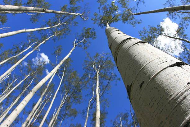 Aspen Trees Reaching To The Sky stock photo