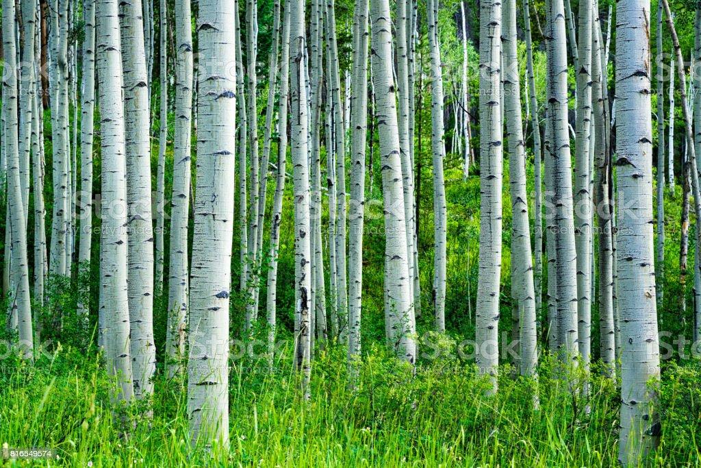 Aspen Trees Summer Forest stock photo