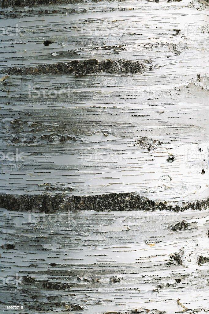 Aspen Trunk stock photo