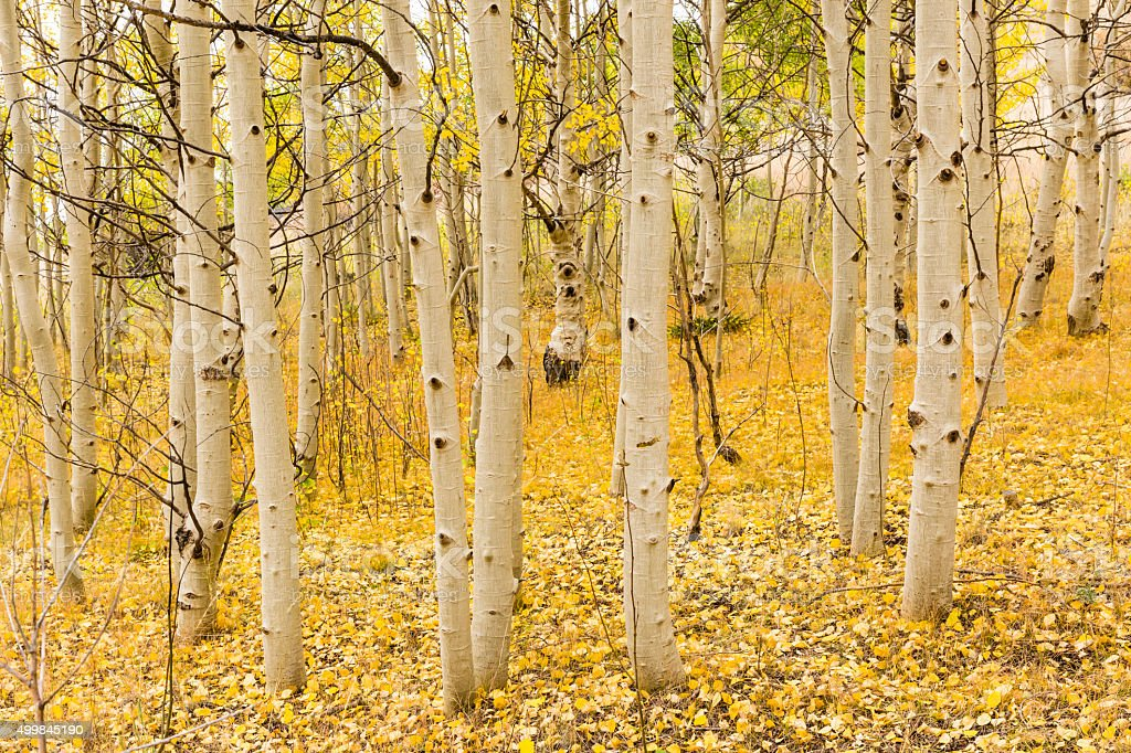 Aspen Trunks and Golden Carpet stock photo