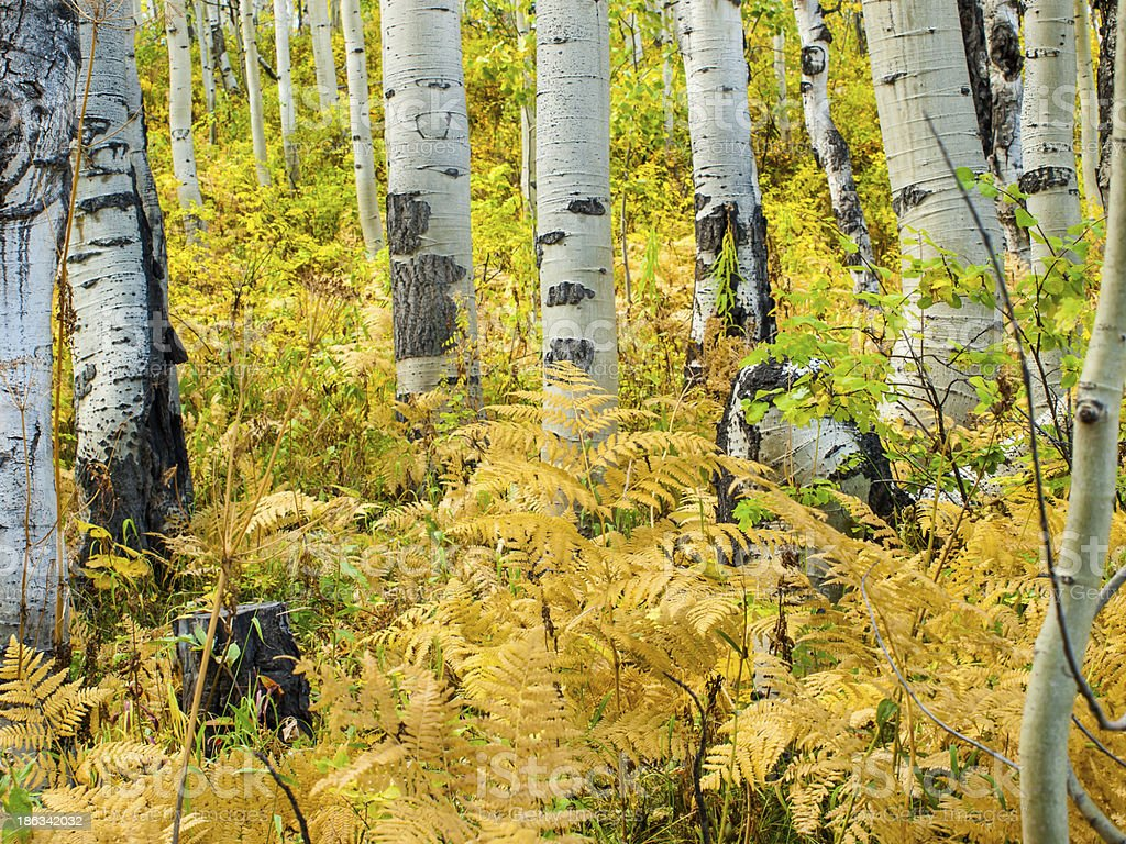 Aspen Trunks in Fall royalty-free stock photo