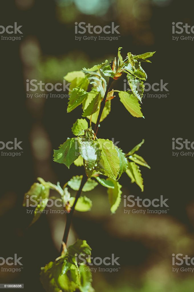 Aspen twig with fresh leaves stock photo