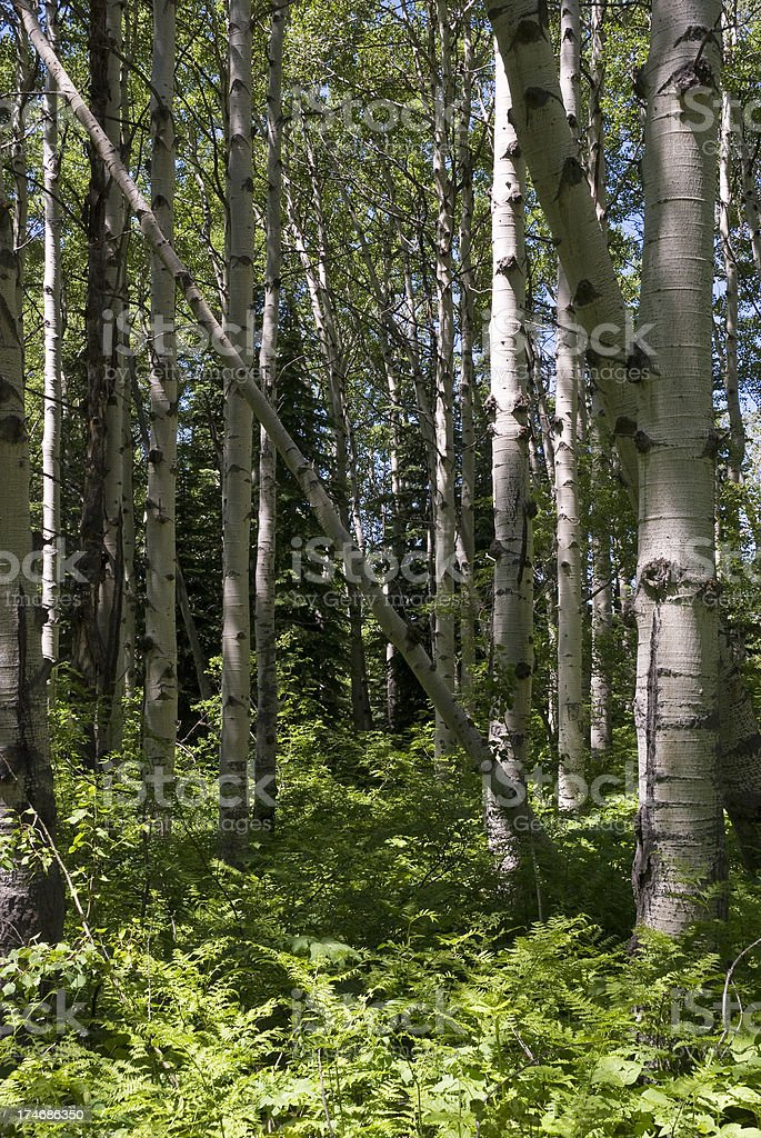Aspen Wood vertical royalty-free stock photo