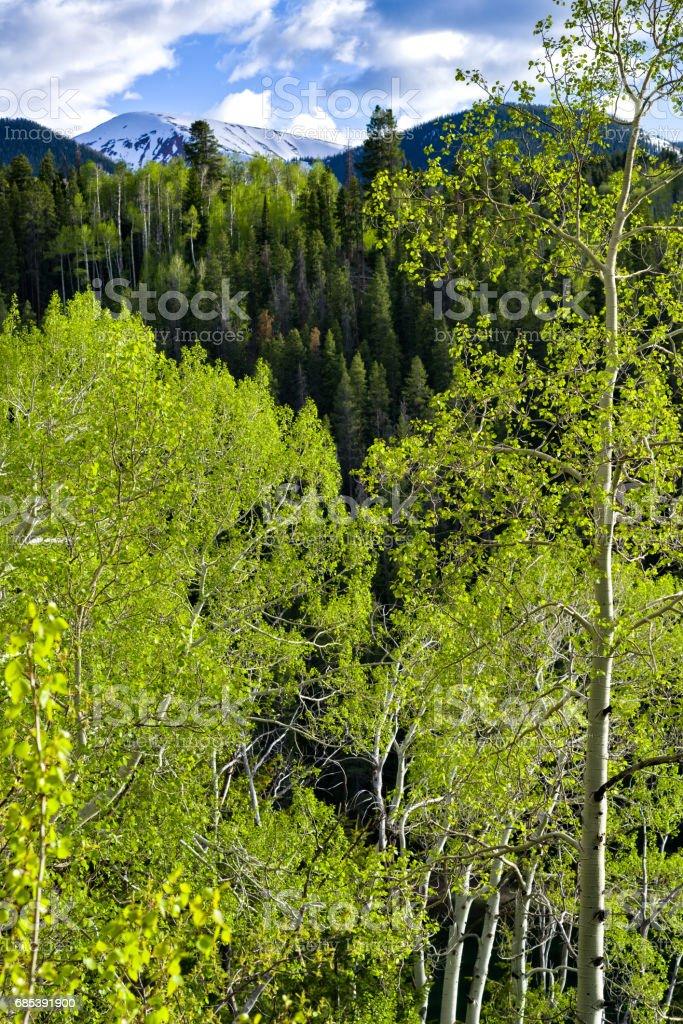 Aspens y a las montañas foto de stock libre de derechos