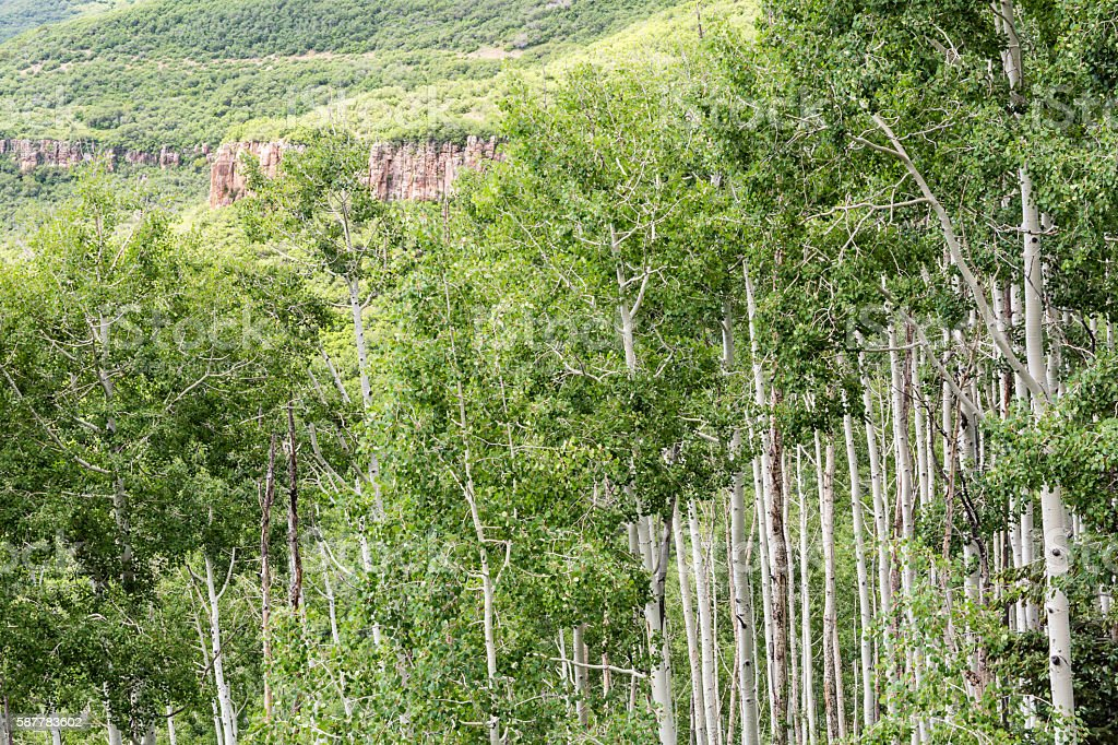 Aspens and Red Rock Ridge stock photo