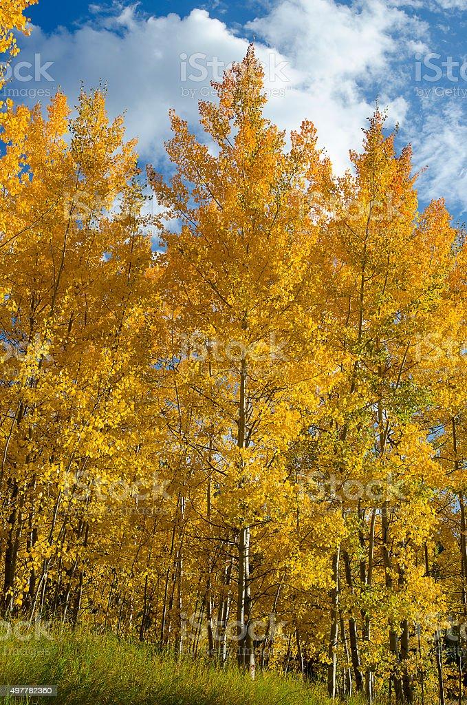 Aspens at Peak Color Against a Blue Sky stock photo