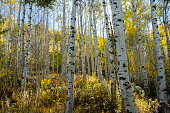 Aspens at Peak Color in the Colorado Rocky Mountains