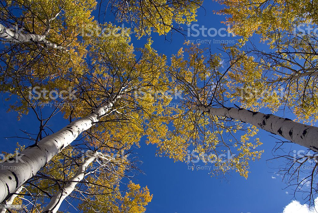 Aspens in Fall Color royalty-free stock photo