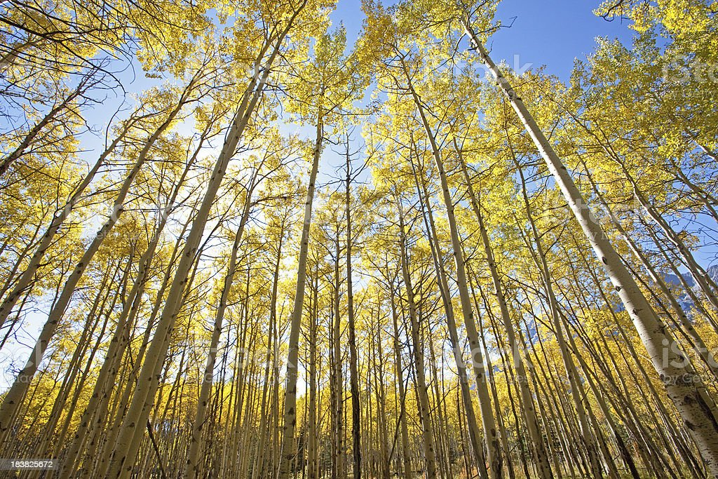 Aspens in Fall royalty-free stock photo