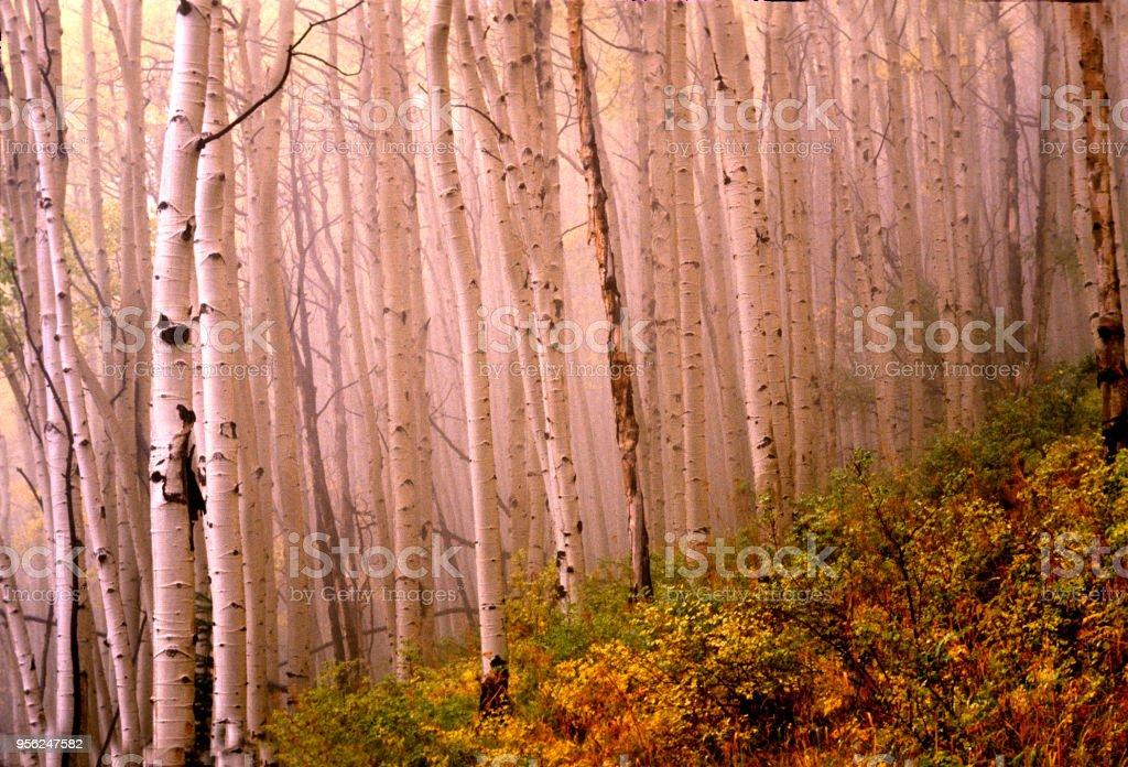aspens in fog stock photo