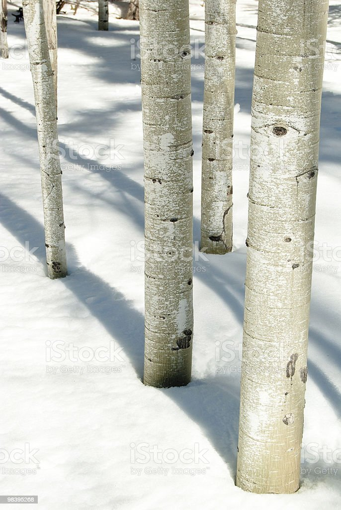 Aspens in snow royalty-free stock photo
