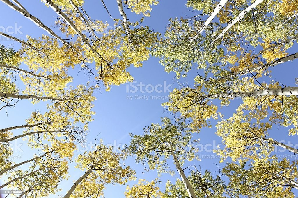 Aspens in the fall stock photo