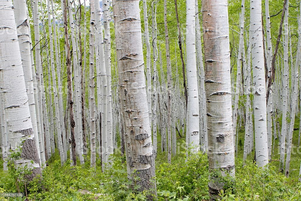 Aspens in the Summer stock photo
