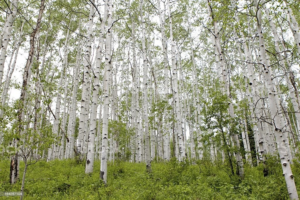 Aspens Trees in the Summer stock photo