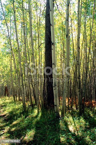 Aspen forest with lone ponderosa pine tree.  Wilderness area near Flagstaff, Arizona, U.S.A.