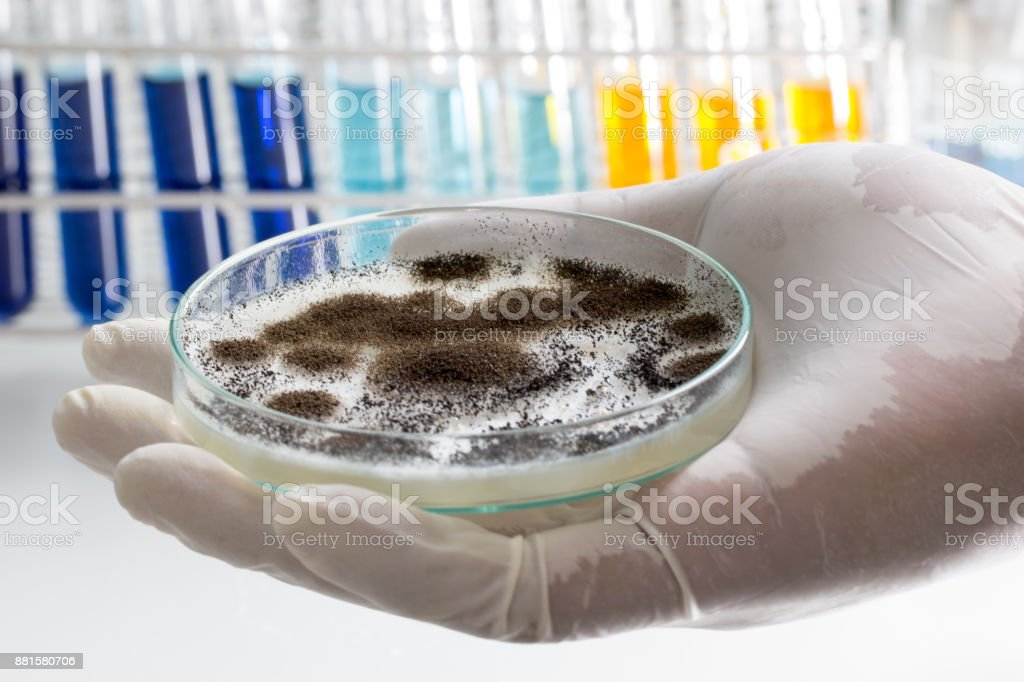Aspergillus (mold) for Microbiology in Lab. stock photo