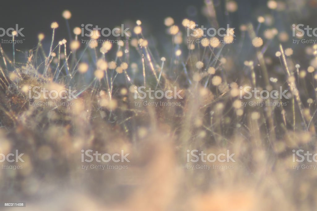 Aspergillus (mold) under the Stereo microscope view for Microbiology in Lab. stock photo