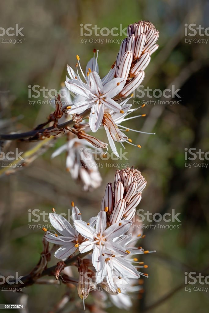 Asphodelus flower, closeup stock photo