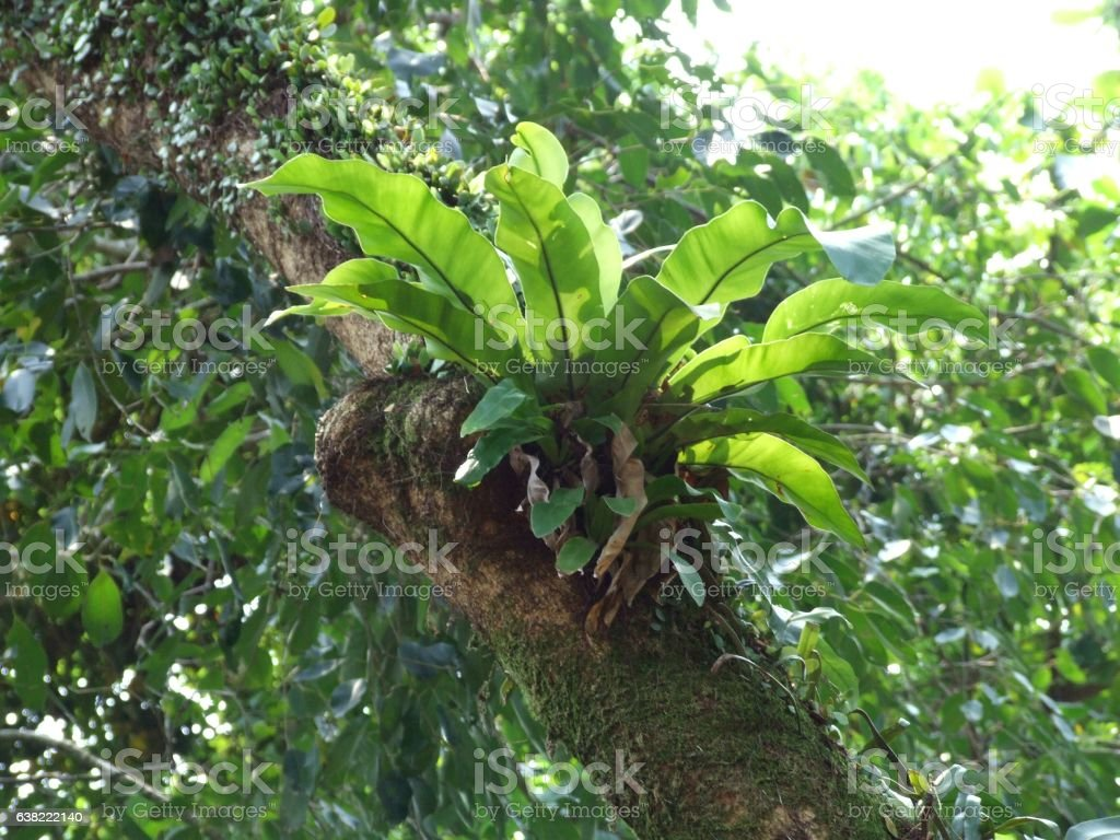Asplenium nidus fern stock photo