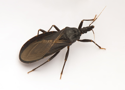 Closeup of an assassin bug, also known as a kissing bug, carrier of Chagas disease.