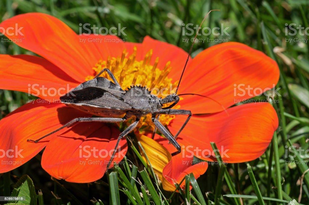 Assassin Bug stock photo