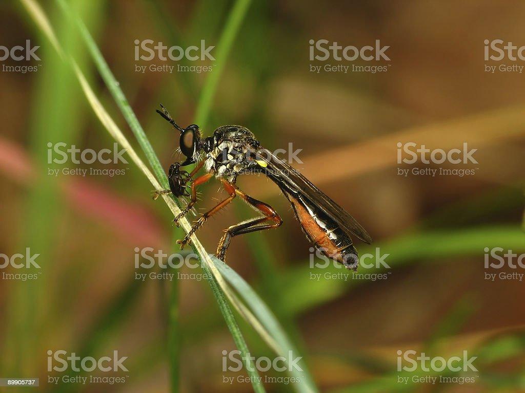 Assassin-fly royalty-free stock photo