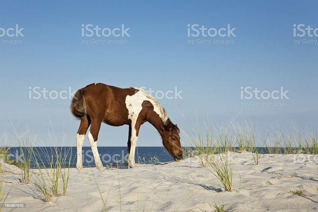 Insel Assateague Island Beach Pony – Foto