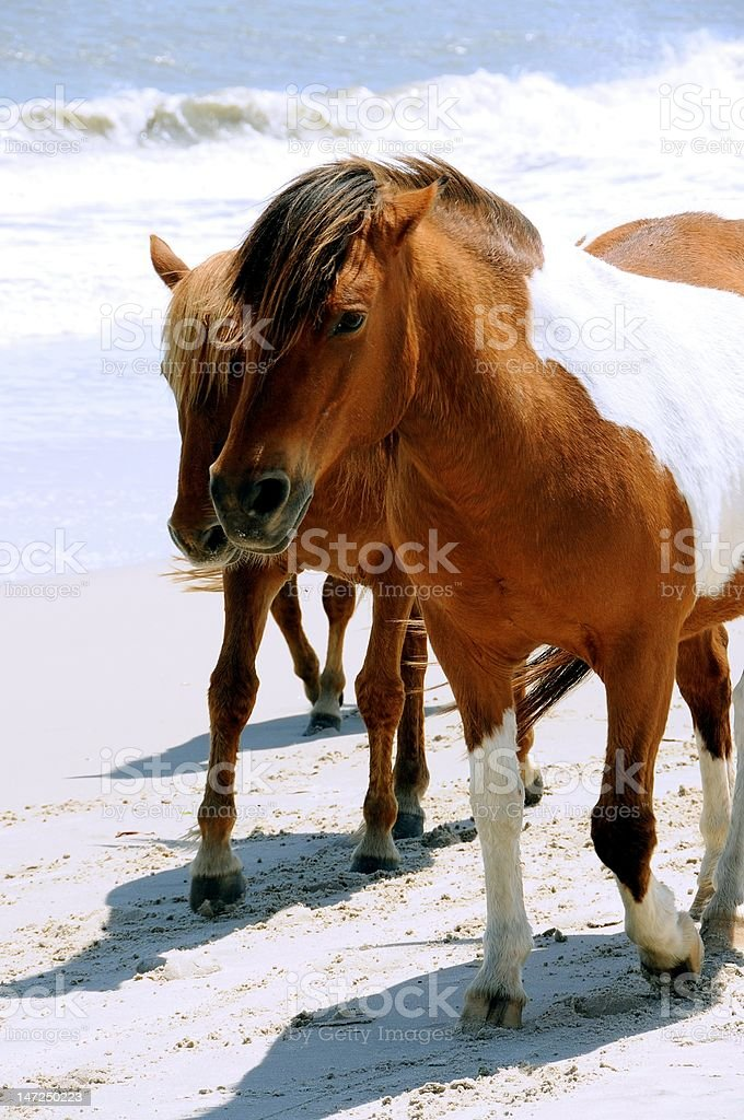 Assateague Island's wild horses walking on the Beach Assateague Island's wild horses are descendants of domestic horses that were said to have arrived on the island in the 17th century.  These horses roam free on the east coast of Maryland. Animal Stock Photo